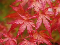 Bright red leaves