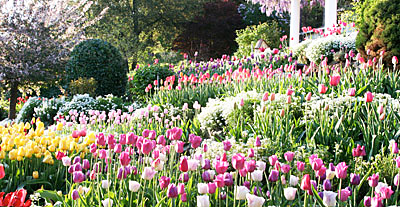 Tulips at the Crystal Hermitage