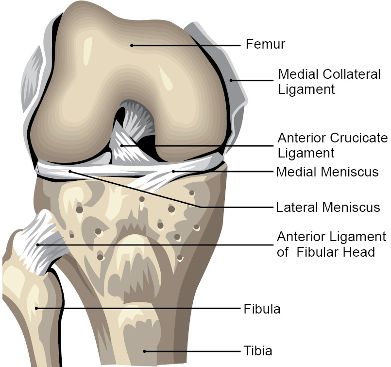 Anatomy Of Knee Cap